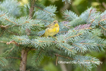 01490-00405 Common Yellowthroat (Geothlypis trichas) Marion Co. IL