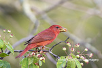 01528-00701 Summer Tanager (Piranga rubra) eating berry in Serviceberry bush (Amelanchier canadensis) Marion Co. IL