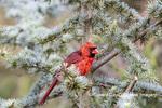 01530-23216 Northern Cardinal (Cardinalis cardinalis) male Marion Co. IL
