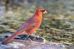 01530-23218 Northern Cardinal (Cardinalis cardinalis) male bathing Marion Co. IL
