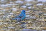 01536-02801 Indigo Bunting (Passerina cyanea) male bathing Marion Co. IL