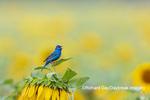 01536-02803 Indigo Bunting (Passerina cyanea) male singing on Sunflower Sam Parr State Park Jasper Co. IL