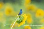 01536-02817 Indigo Bunting (Passerina cyanea) male singing  on Sunflower Sam Parr State Park Jasper Co. IL