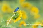01536-02901 Indigo Bunting (Passerina cyanea) male on Sunflower Sam Parr State Park Jasper Co. IL