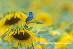 01536-02905 Indigo Bunting (Passerina cyanea) male singing on Sunflower Sam Parr State Park Jasper Co. IL