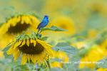 01536-02911 Indigo Bunting (Passerina cyanea) male on Sunflower Sam Parr State Park Jasper Co. IL