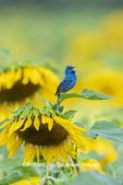 01536-02915 Indigo Bunting (Passerina cyanea) male singing on Sunflower Sam Parr State Park Jasper Co. IL