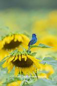 01536-02918 Indigo Bunting (Passerina cyanea) male singing on Sunflower Sam Parr State Park Jasper Co. IL