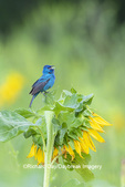 01536-03002 Indigo Bunting (Passerina cyanea) male singing on Sunflower Sam Parr State Park Jasper Co. IL