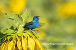01536-03007 Indigo Bunting (Passerina cyanea) male singing on Sunflower Sam Parr State Park Jasper Co. IL