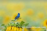 01536-03018 Indigo Bunting (Passerina cyanea) male singing on Sunflower Sam Parr State Park Jasper Co. IL