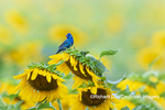 01536-03102 Indigo Bunting (Passerina cyanea) male on Sunflower Sam Parr State Park Jasper Co. IL