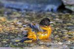 01611-09902 Baltimore Oriole (Icterus galbula) male bathing Marion Co. IL