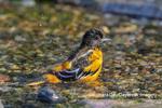 01611-09904 Baltimore Oriole (Icterus galbula) male bathing Marion Co. IL