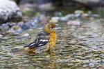 01611-09906 Baltimore Oriole (Icterus galbula) female bathing Marion Co. IL