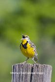 01627-00408 Eastern Meadowlark (Sturnella magna) singing Great Smoky Mountains NP TN