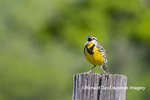 01627-00411 Eastern Meadowlark (Sturnella magna) singing Great Smoky Mountains NP TN