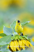 01640-16602 American Goldfinch (Spinus tristis) male on Sunflower Sam Parr St. Pk. Jasper Co. IL