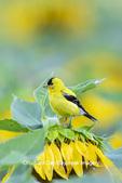 01640-16605 American Goldfinch (Spinus tristis) male on Sunflower Sam Parr St. Pk. Jasper Co. IL
