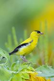 01640-16607 American Goldfinch (Spinus tristis) male on Sunflower Sam Parr St. Pk. Jasper Co. IL