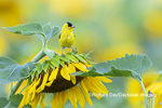 01640-16609 American Goldfinch (Spinus tristis) male on Sunflower Sam Parr St. Pk. Jasper Co. IL