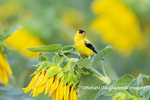 01640-16612 American Goldfinch (Spinus tristis) male on Sunflower Sam Parr St. Pk. Jasper Co. IL