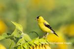 01640-16615 American Goldfinch (Spinus tristis) male on Sunflower Sam Parr St. Pk. Jasper Co. IL