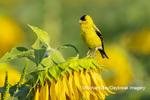 01640-16618 American Goldfinch (Spinus tristis) male singing on Sunflower Sam Parr St. Pk. Jasper Co. IL