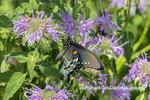 03004-01620 Pipevine Swallowtail (Battus philenor) male on Wild Bergamot (Monarda fistulosa) Marion Co. IL