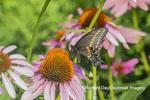 03009-02008 Black Swallowtail (Papilio polyxenes) male on Purple Coneflower (Echinacea purpurea) Marion Co. IL