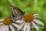 03009-02009 Black Swallowtail (Papilio polyxenes) male on Purple Coneflower (Echinacea purpurea) Marion Co. IL