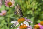 03009-02011 Black Swallowtail (Papilio polyxenes) male on Purple Coneflower (Echinacea purpurea) Marion Co. IL