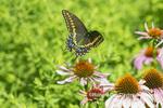 03009-02014 Black Swallowtail (Papilio polyxenes) male in flight over Purple Coneflower (Echinacea purpurea) Marion Co. IL