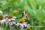 03017-01619 Giant Swallowtail (Papilio cresphontes) on Purple Coneflower (Echinacea purpurea) Marion Co. IL