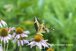 03017-01620 Giant Swallowtail (Papilio cresphontes) on Purple Coneflower (Echinacea purpurea) Marion Co. IL