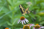 03017-01707 Giant Swallowtail (Papilio cresphontes) on on Purple Coneflower (Echinacea purpurea) Marion Co. IL
