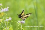 03023-03303 Eastern Tiger Swallowtail (Papilio glaucus) on on Wild Bergamot (Monarda fistulosa) Marion Co. IL