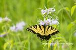 03023-03307 Eastern Tiger Swallowtail (Papilio glaucus) on on Wild Bergamot (Monarda fistulosa) Marion Co. IL
