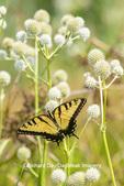 03023-03311 Eastern Tiger Swallowtail (Papilio glaucus) on Rattlesnake Master (Eryngium yuccifolium) Marion Co. IL