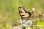 03023-03313 Eastern Tiger Swallowtail (Papilio glaucus) on Rattlesnake Master (Eryngium yuccifolium) Marion Co. IL
