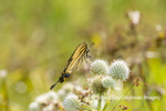 03023-03316 Eastern Tiger Swallowtail (Papilio glaucus) on Rattlesnake Master (Eryngium yuccifolium) Marion Co. IL