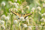03023-03318 Eastern Tiger Swallowtail (Papilio glaucus) on Rattlesnake Master (Eryngium yuccifolium) Marion Co. IL