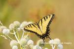 03023-03402 Eastern Tiger Swallowtail (Papilio glaucus) on Rattlesnake Master (Eryngium yuccifolium) Marion Co. IL