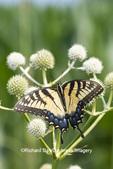 03023-03404 Eastern Tiger Swallowtail (Papilio glaucus) on Rattlesnake Master (Eryngium yuccifolium) Marion Co. IL