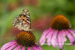 03406-01312 Painted Lady (Vanessa cardui) on Purple Coneflower (Echinacea purpurea) Marion Co. IL