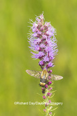 04005-00502 Snowberry Clearwing (Hemaris diffinis) on Prairie Blazing Star (Liatris pycnostachya) Marion Co. Marion Co. IL