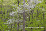 63874-00201 Flowering Dogwood Tree (Cornus florida) in spring Stephen A. Forbes St. Park Marion Co. IL