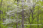 63874-00203 Flowering Dogwood Tree (Cornus florida) in spring Stephen A. Forbes St. Park Marion Co. IL