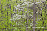 63874-00206 Flowering Dogwood Tree (Cornus florida) in spring Stephen A. Forbes St. Park Marion Co. IL
