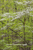 63874-00207 Flowering Dogwood Tree (Cornus florida) in spring Stephen A. Forbes St. Park Marion Co. IL